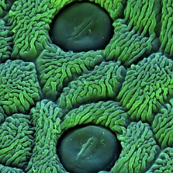 Coltsfoot  Stomata Field-of-View: 66x66 micron : Coltsfoot, stomata, plant