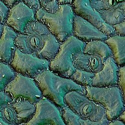 Broccoli  Leafs Field-of-View: 132 x 185 micron : broccoli, leaf, cells, stomata
