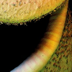 Tropical Pitcher Plant (Nepenthes alata)  Field-of-View: 3600 x 4850 micron : pitcher plant, tropical, plant, nepenthes alata