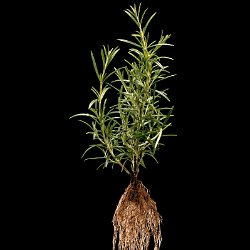 Rosemary (Rosmarinus officinalis)  Field-of-View: 240x360 millimeter : plant, herb, botanical garden, wuerzburg, Rosemary, Rosmarinus officinalis