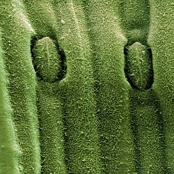 Chive  Stomata. Field-of-View: 72x69 micron : plant, herb, botanical garden, wuerzburg, chive
