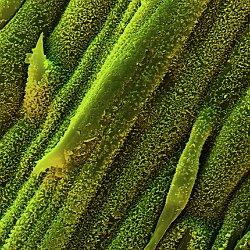 Lemon gras (Cymbogon citratus)  wax cristals on leaf. Field-of-View: 71x100 micron : plant, herb, botanical garden, wuerzburg, Lemon gras, Cymbogon citratus